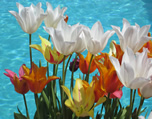 Tulip candy by the water