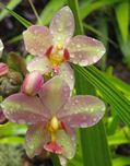 Pink & yellow Orchids